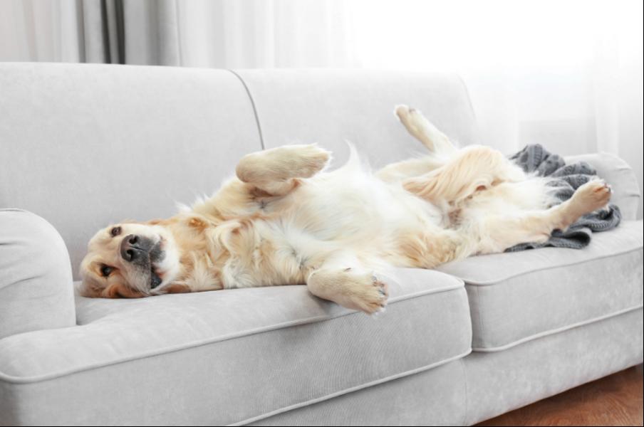 Rheumatoid Arthritis in Dogs