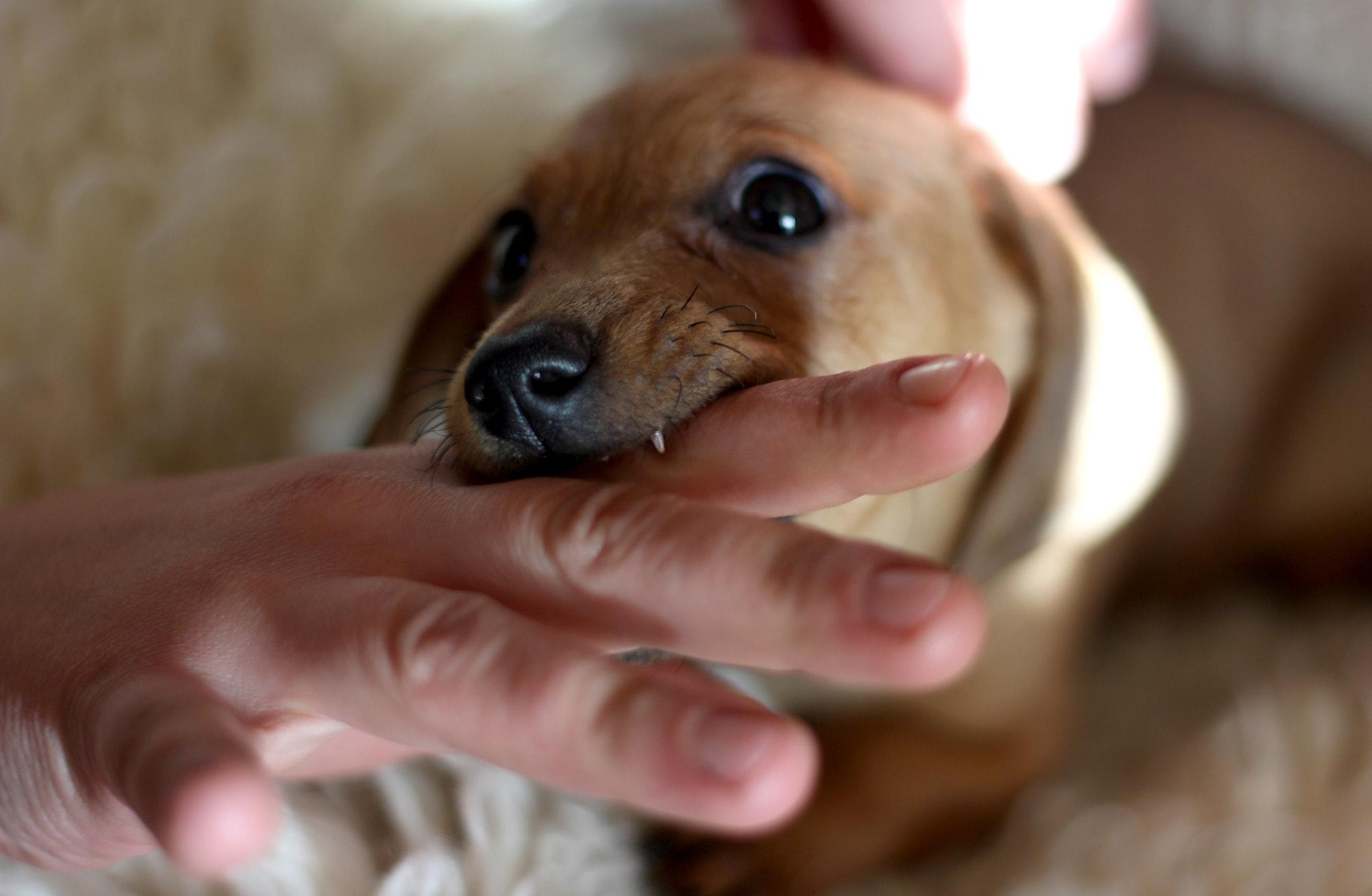 Little dog bite, close up